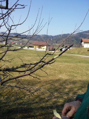 20150321_cepljenje dreves (12)