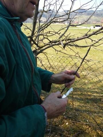 20150321_cepljenje dreves (14)