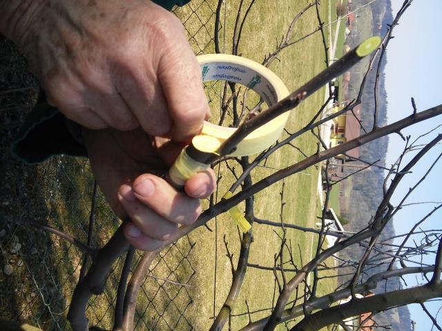 20150321_cepljenje dreves (18)