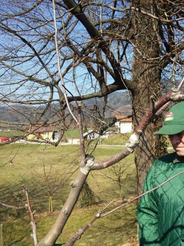 20150321_cepljenje dreves (36)