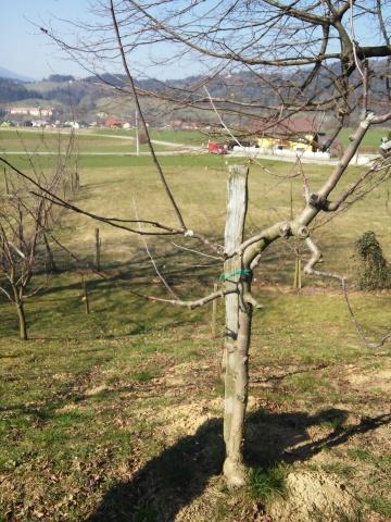 20150321_cepljenje dreves (37)