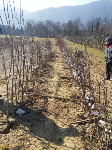 20150321_cepljenje dreves (39)
