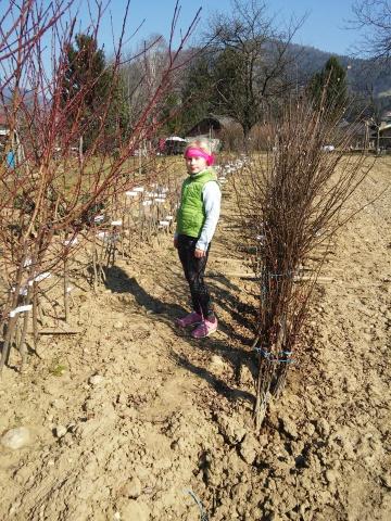20150321_cepljenje dreves (40)