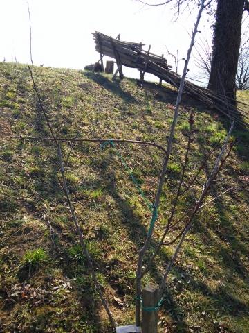 20150321_cepljenje dreves (9)