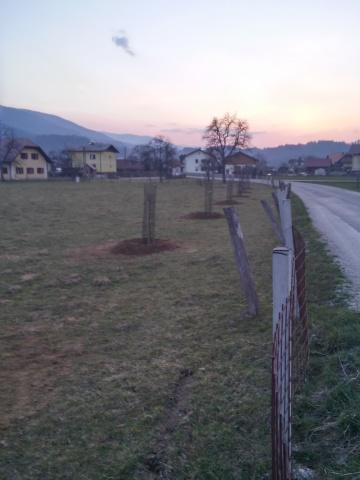 cesnjev drevored saditev2015 (3)