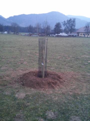 cesnjev drevored saditev2015 (4)